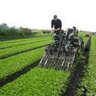 Harvesting radish