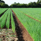 Spring onion field